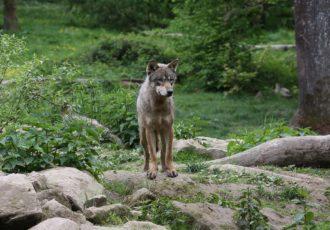 wolf_herdenschutzprojekt_01